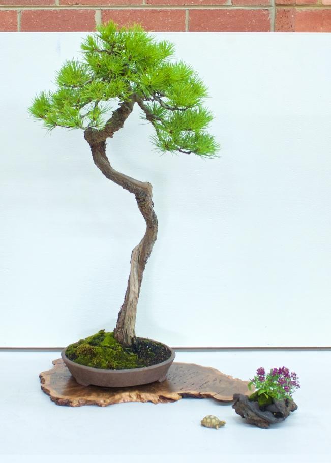 Pinus radiata 3 point display
