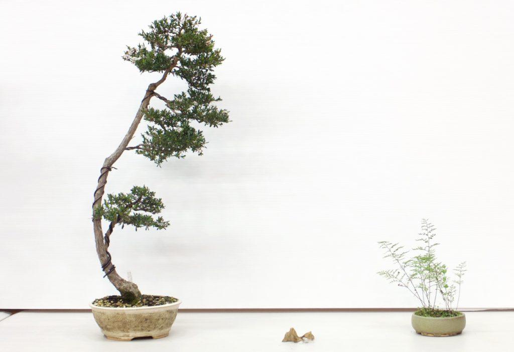 Kunzea ericoides 3 Point Display