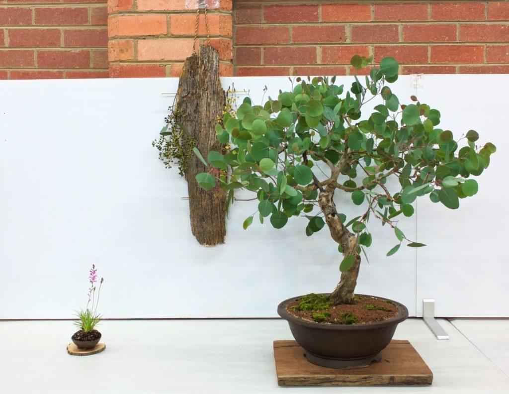 Red Box - Eucalyptus polyanthemos 3 Point Display