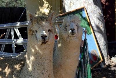 twin alpacas