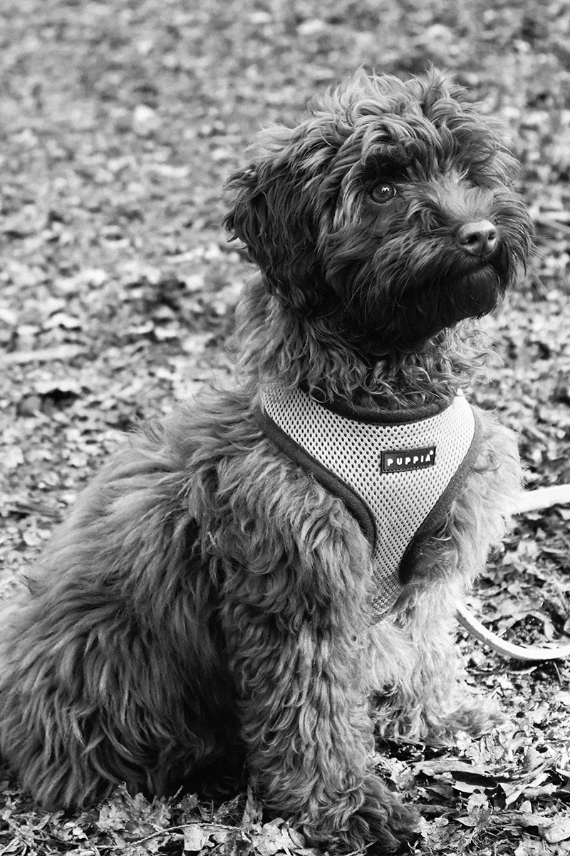 australian labradoodle, puppia harness, puppia, red, puppy,