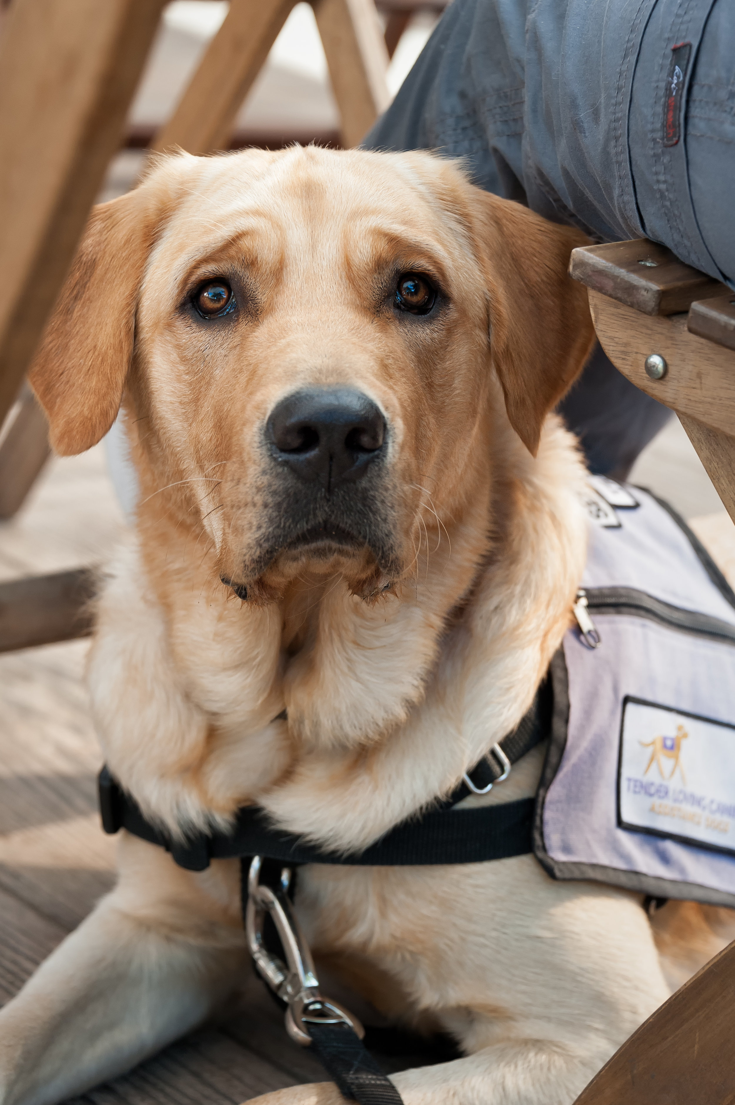 Retired Service Dog- What Happens When They Hang Up Their
