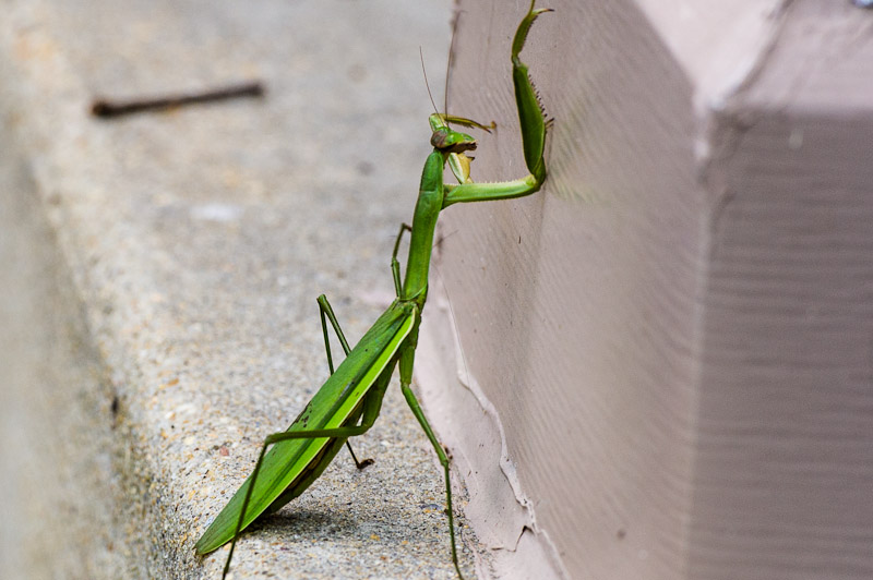 Unhappy Praying Mantis