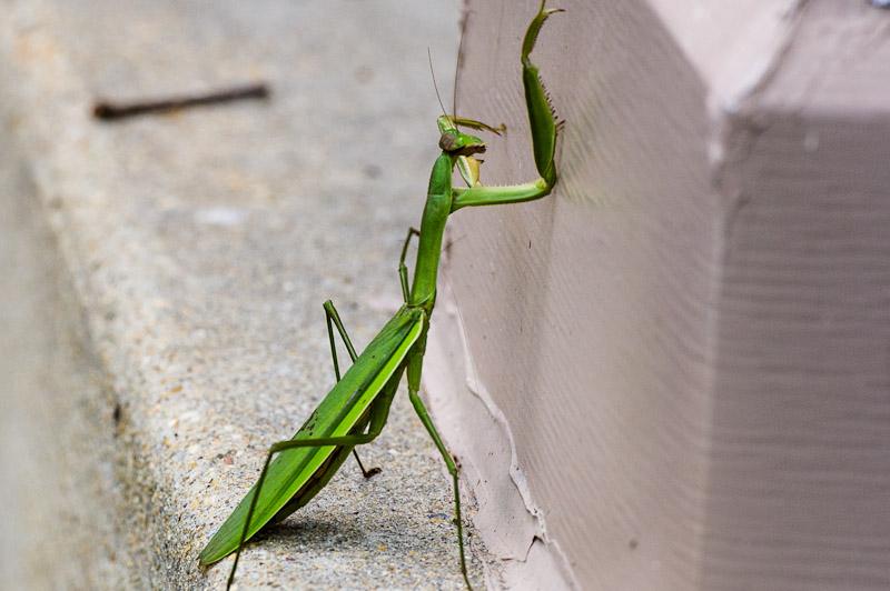 Unhappy Praying Mantis