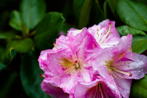 Rain Showers On Pink