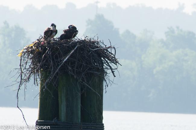Nesting Osprey Babies?