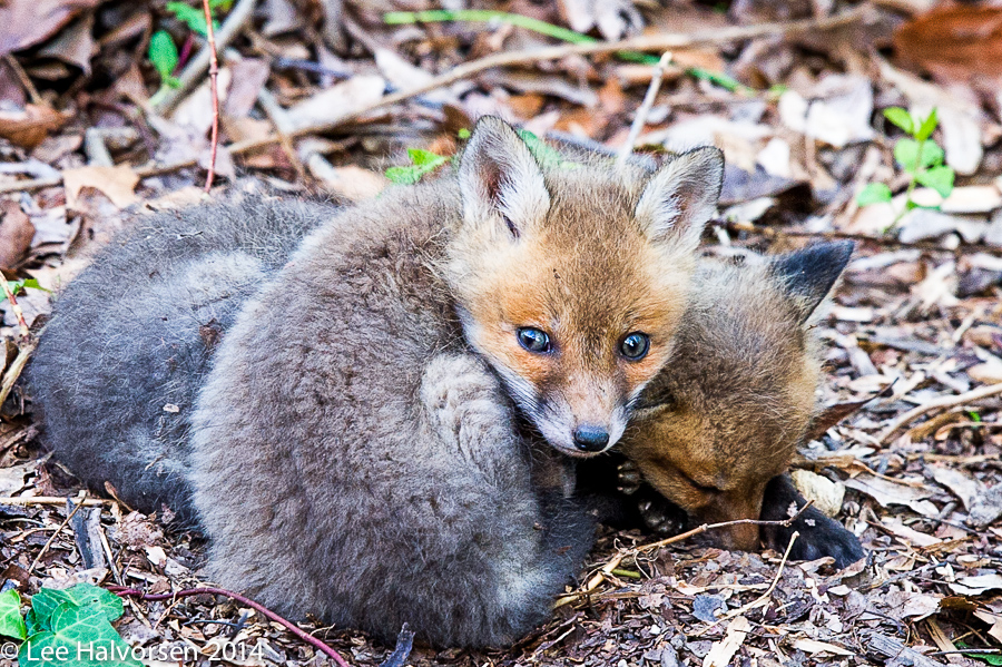 "Fox, well actually ""Kits"""
