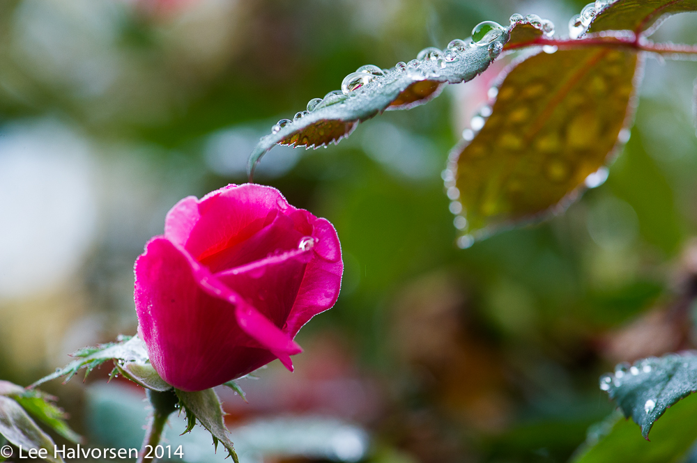 Rose In the Morning