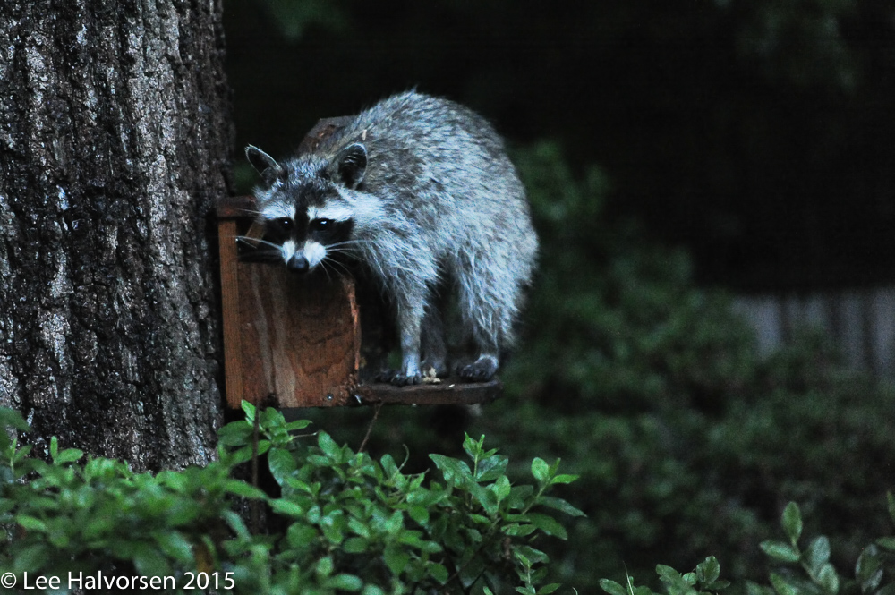 Raccoon Dining On Our Squirrel Feeder