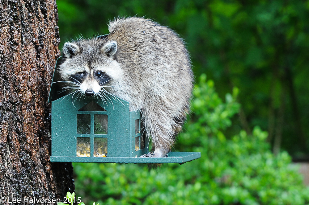 Our Raccoon