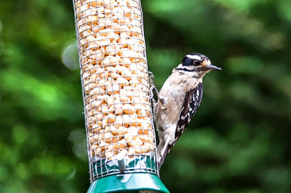 Bird of Some Sort - Woodpecker?