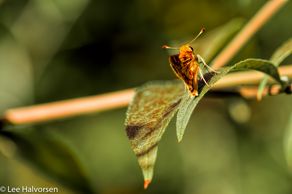Golden Munchkin Butterfly