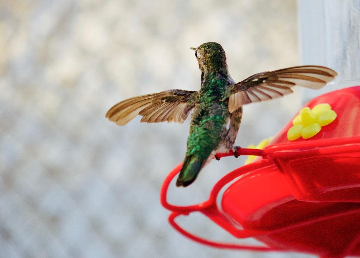 Hummingbird Buffet