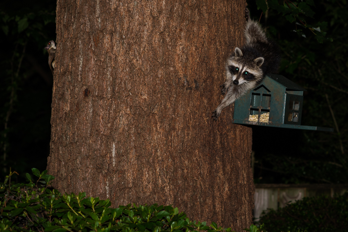 Raccoon and flying squirrels