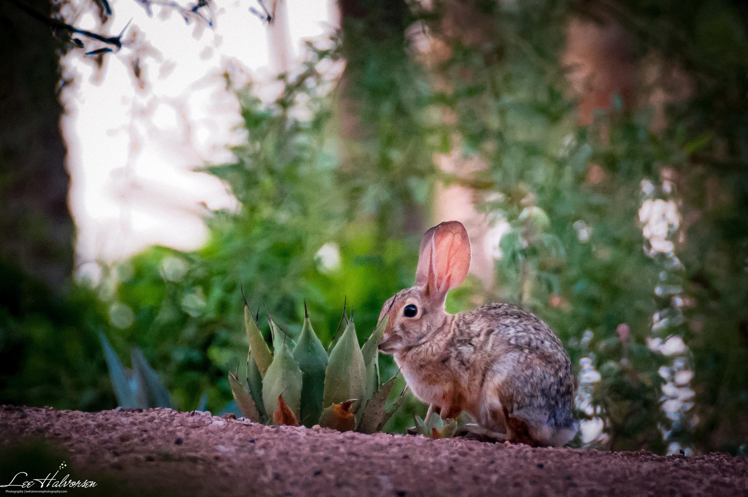 Arizona Rabbit