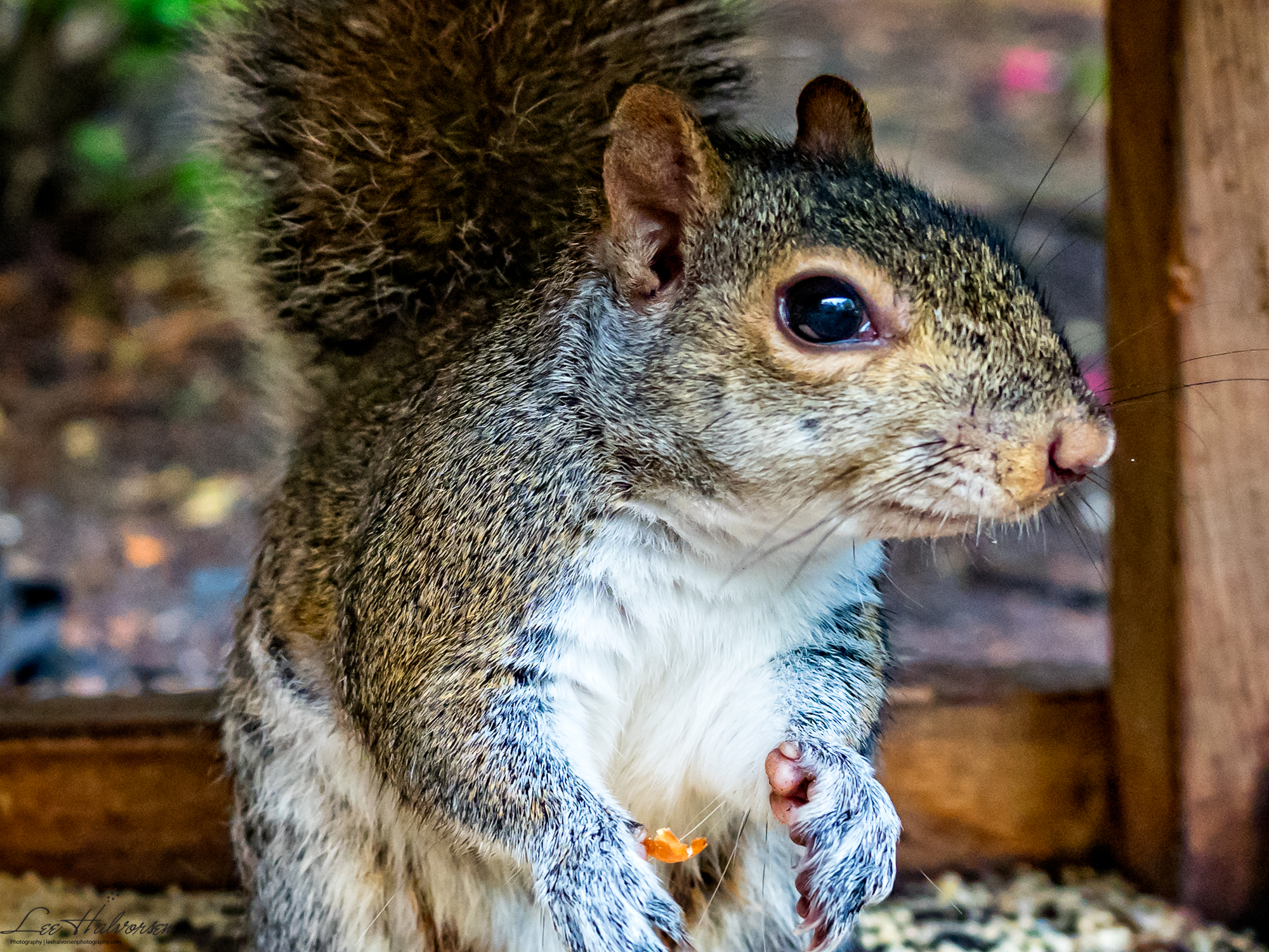 Front Yard Squirrel