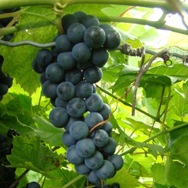 Grapes toxic