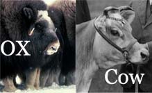 Photo from: http://www.differencebetween.net/science/nature/difference-between-ox-and-cow/
