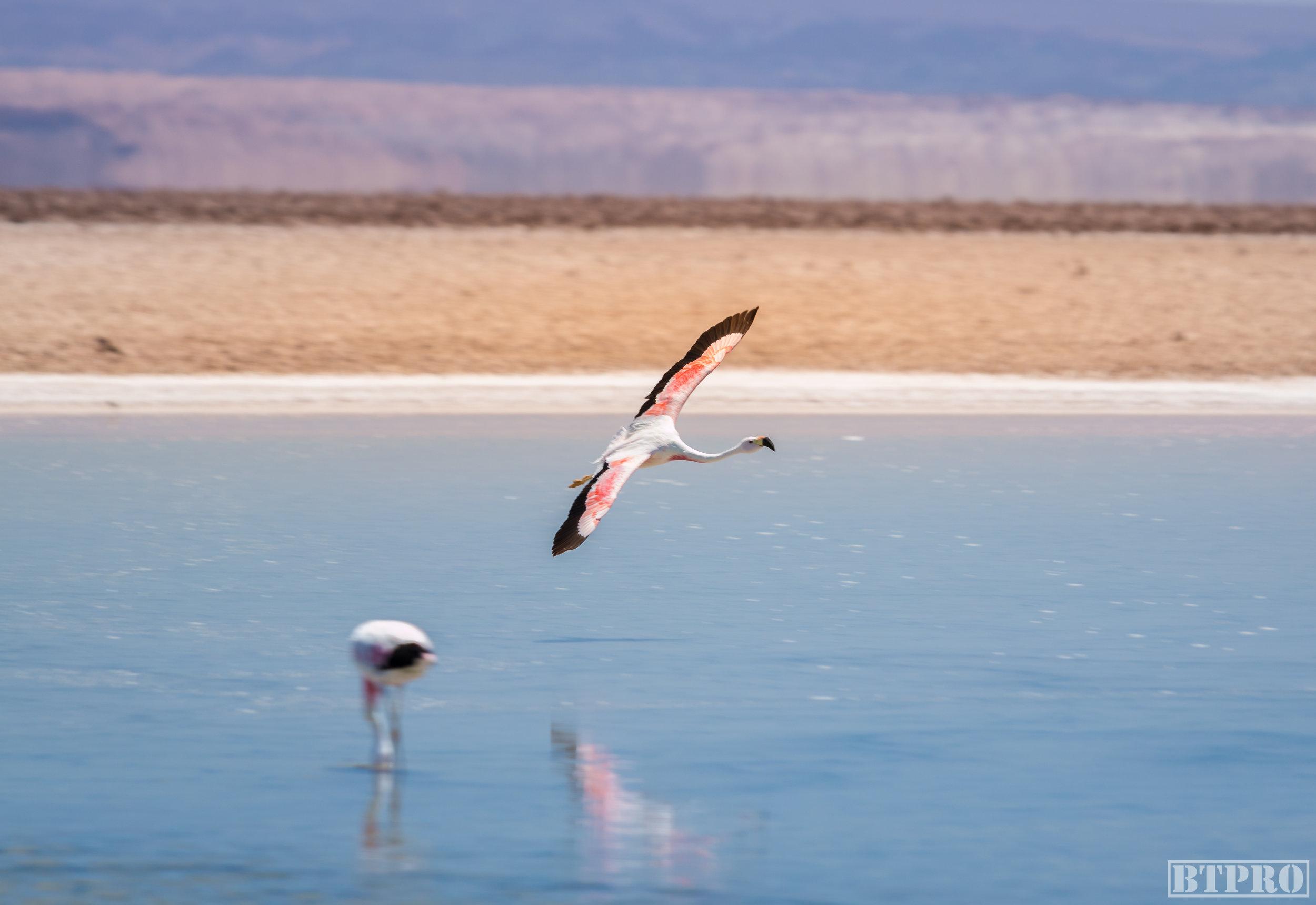 flamingo, nature, nature photography, lagoon, chile, atacama,
