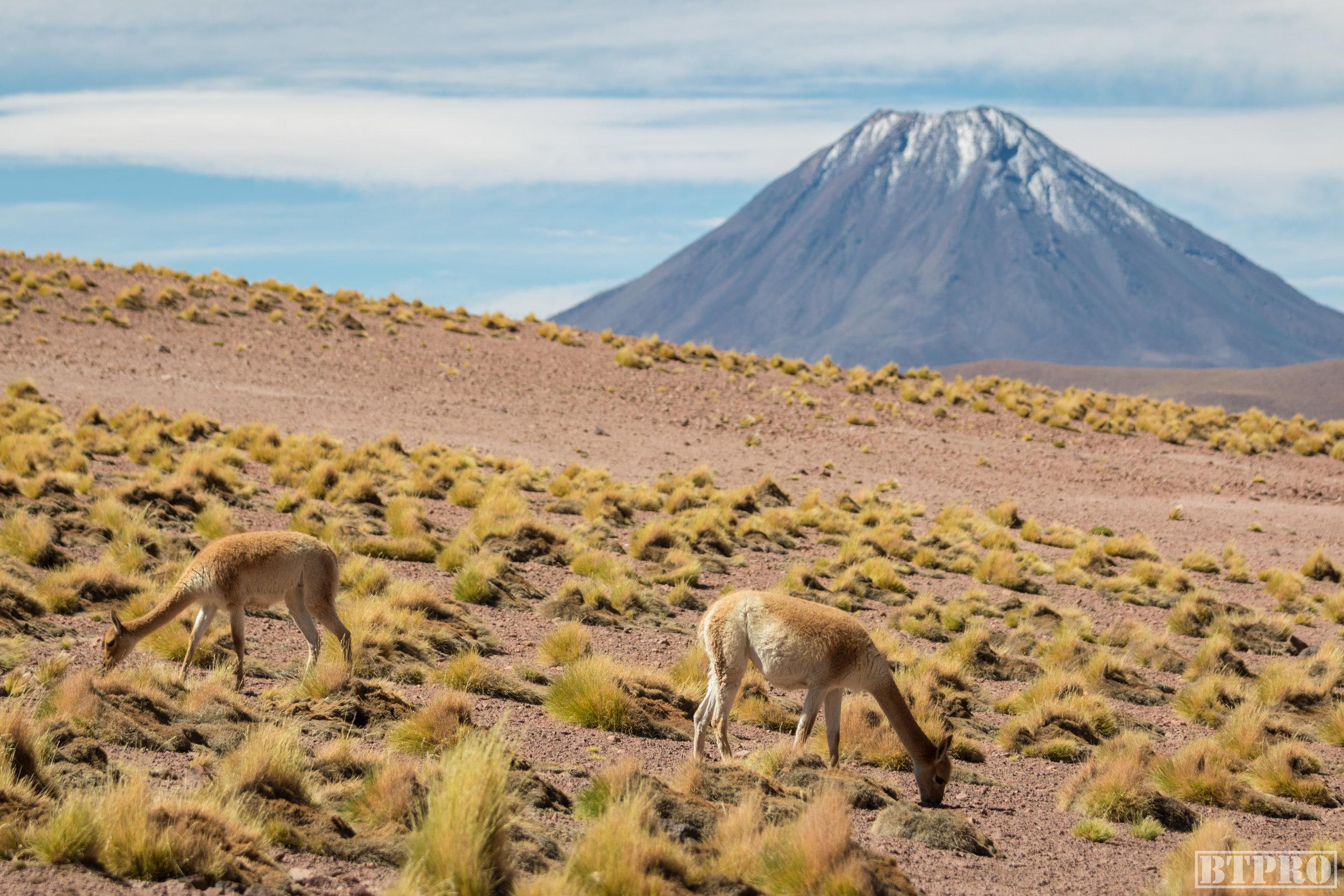 llama, lagoon, chile, nature, nature photography