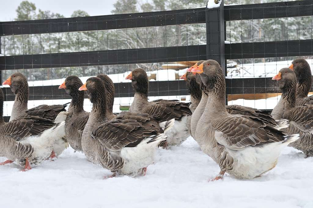 Heritage Breed Geese Blog Heritage Poultry Conservancy