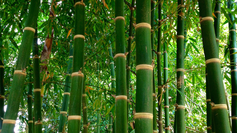 Bamboo Stem Anatomy — Guadua Bamboo
