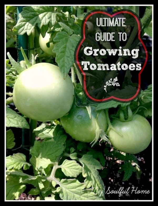 How To Grow Tomato Plants My Soulful Home