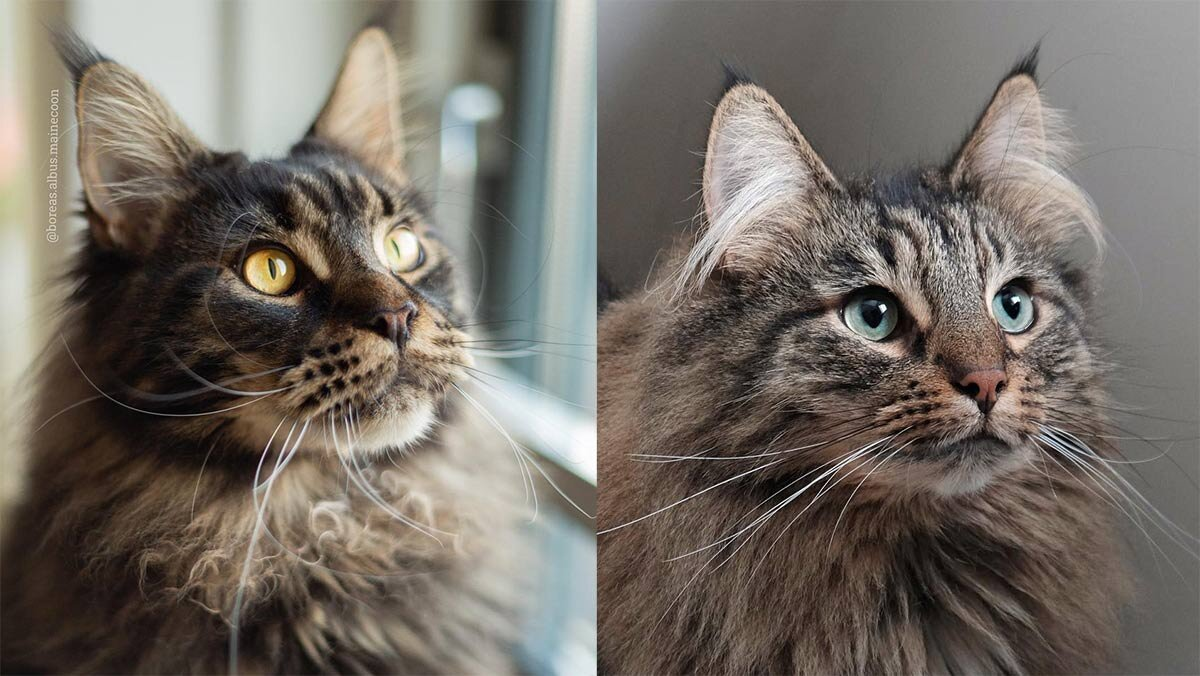 Maine Coon Vs Norwegian Forest Cat The Little Carnivore