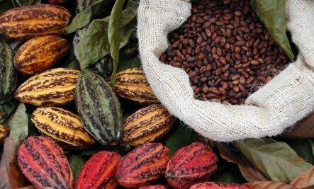 必须仔细收获和仔细收获和处理恶豆类以发展其潜在风味。