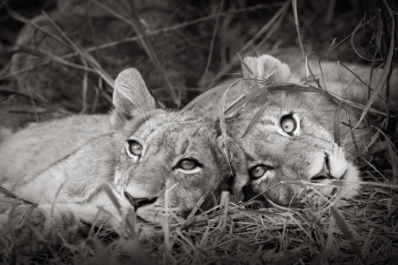 Lion Siblings — Andy Biggs