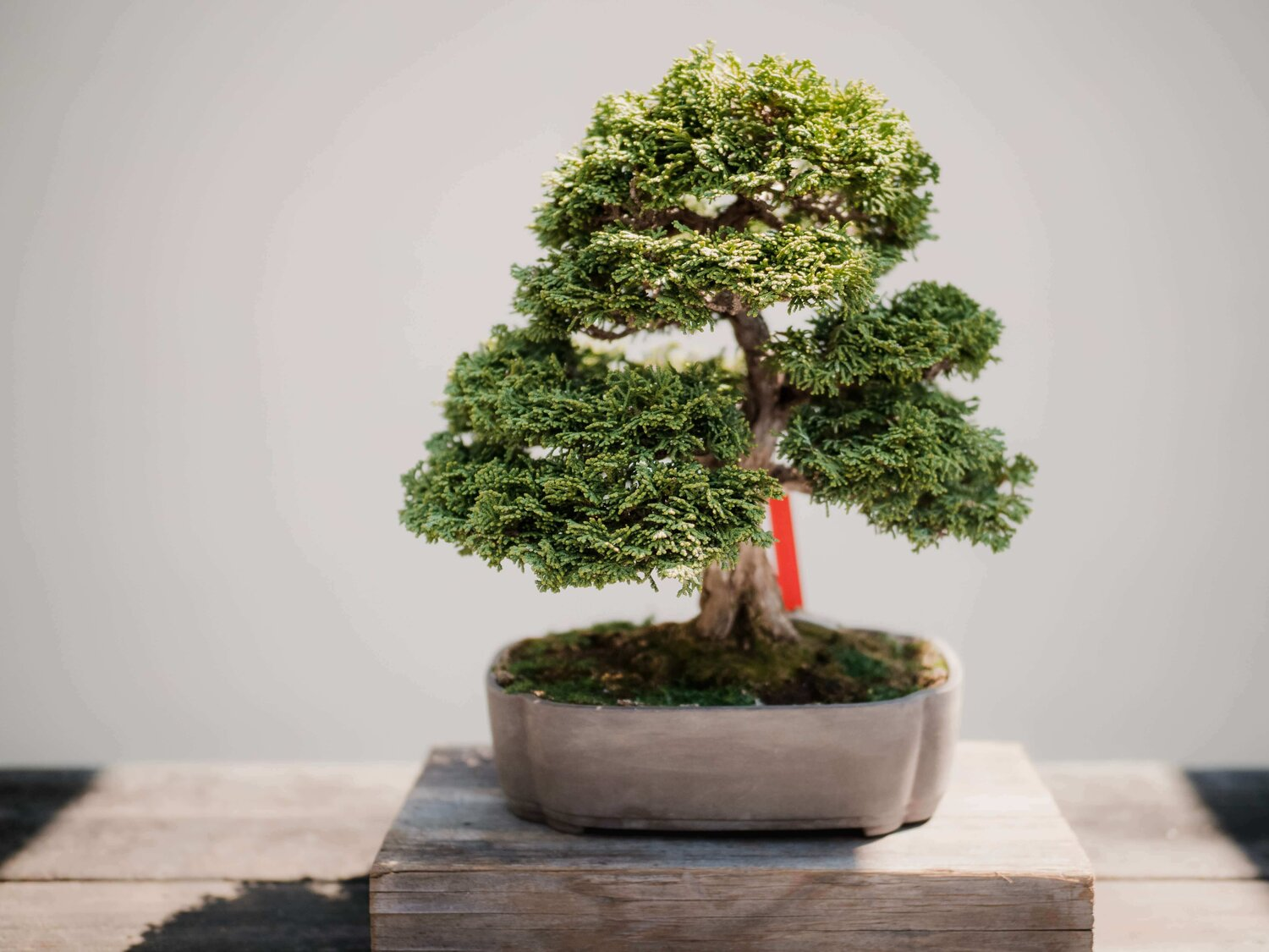 How Much Light Does A Bonsai Tree Need At Home With Hues