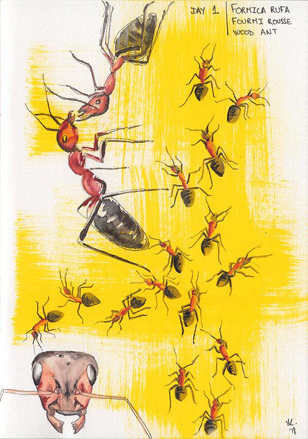 日常昆虫艺术:福米卡·鲁法(Formica Rufa),2018年1月1日,绘画,斯特凡妮·基尔加斯特(StéphanieKilgast)