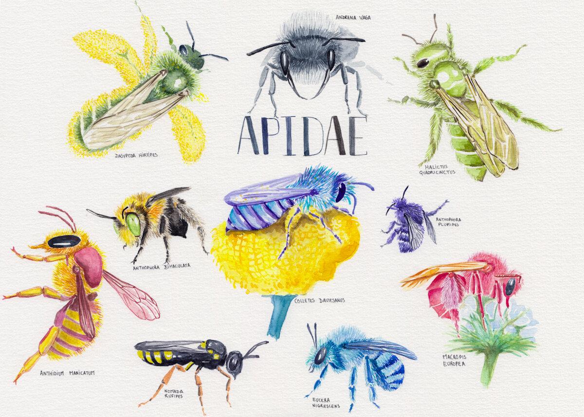 Apidae,2018,纸上水彩,斯蒂芬妮·基尔加斯特