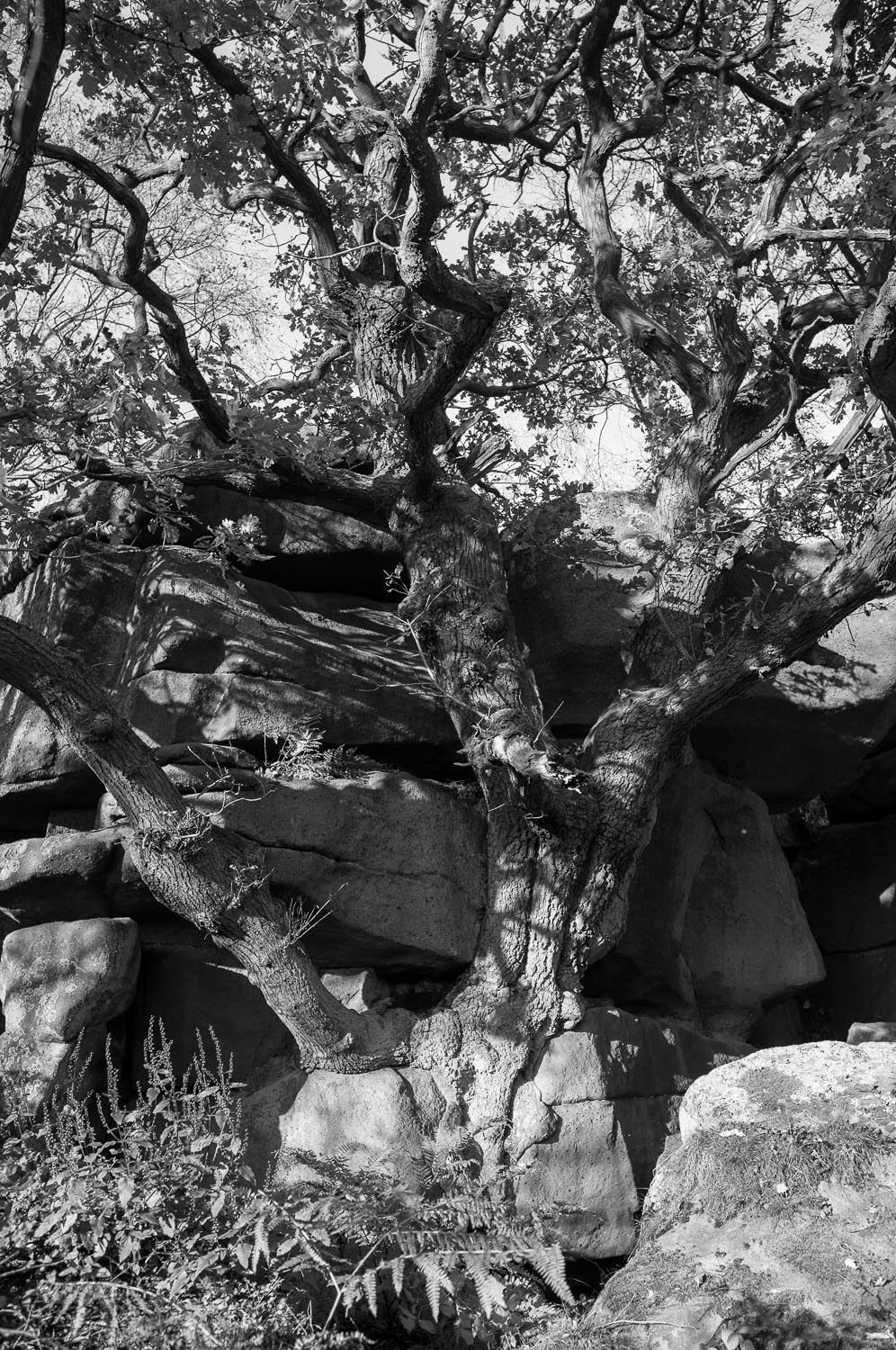 Oak from Tree - Black and White