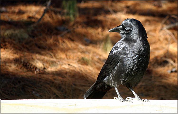 """january crow"" by  michael douglas jones  (damascas, maryland, usa)"