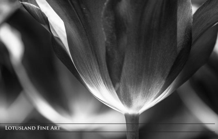 """underside of a tulip (b&w)"" by  wanda lotus (brooklyn, new york, usa)"