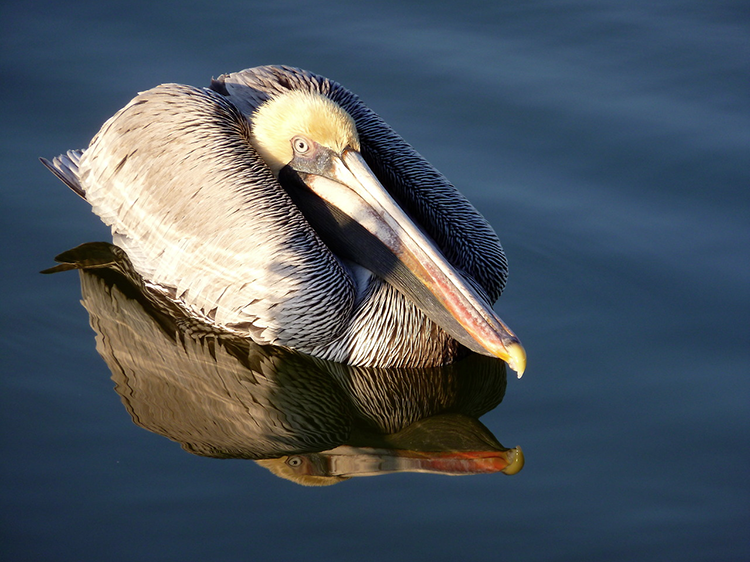 """""""pelican reflection"""" by cindy wexler (rockport, texas, usa)"""