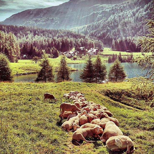 #sheeps at #lakedavos enjoying the morning sun