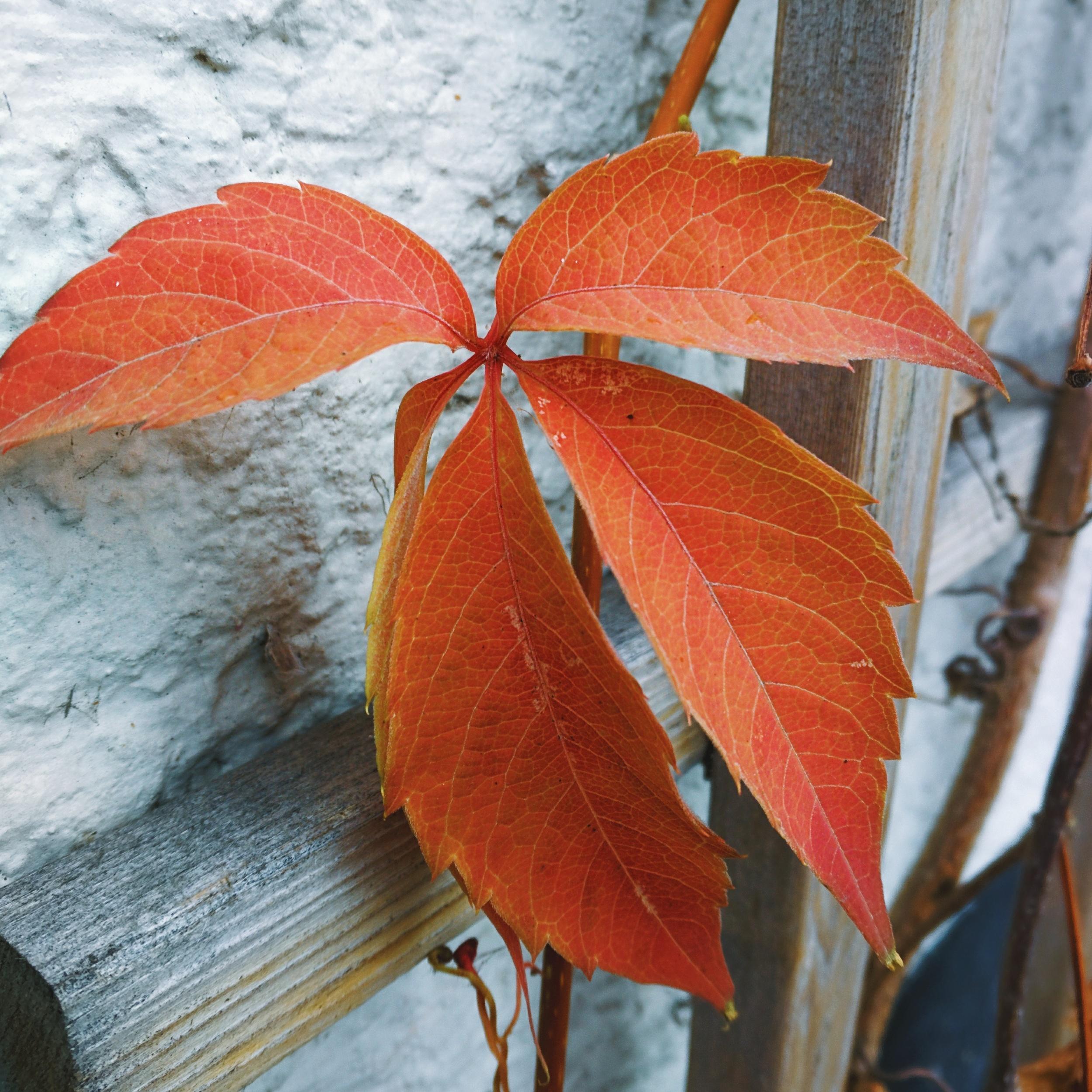 current pic: last leaves on my trellis.
