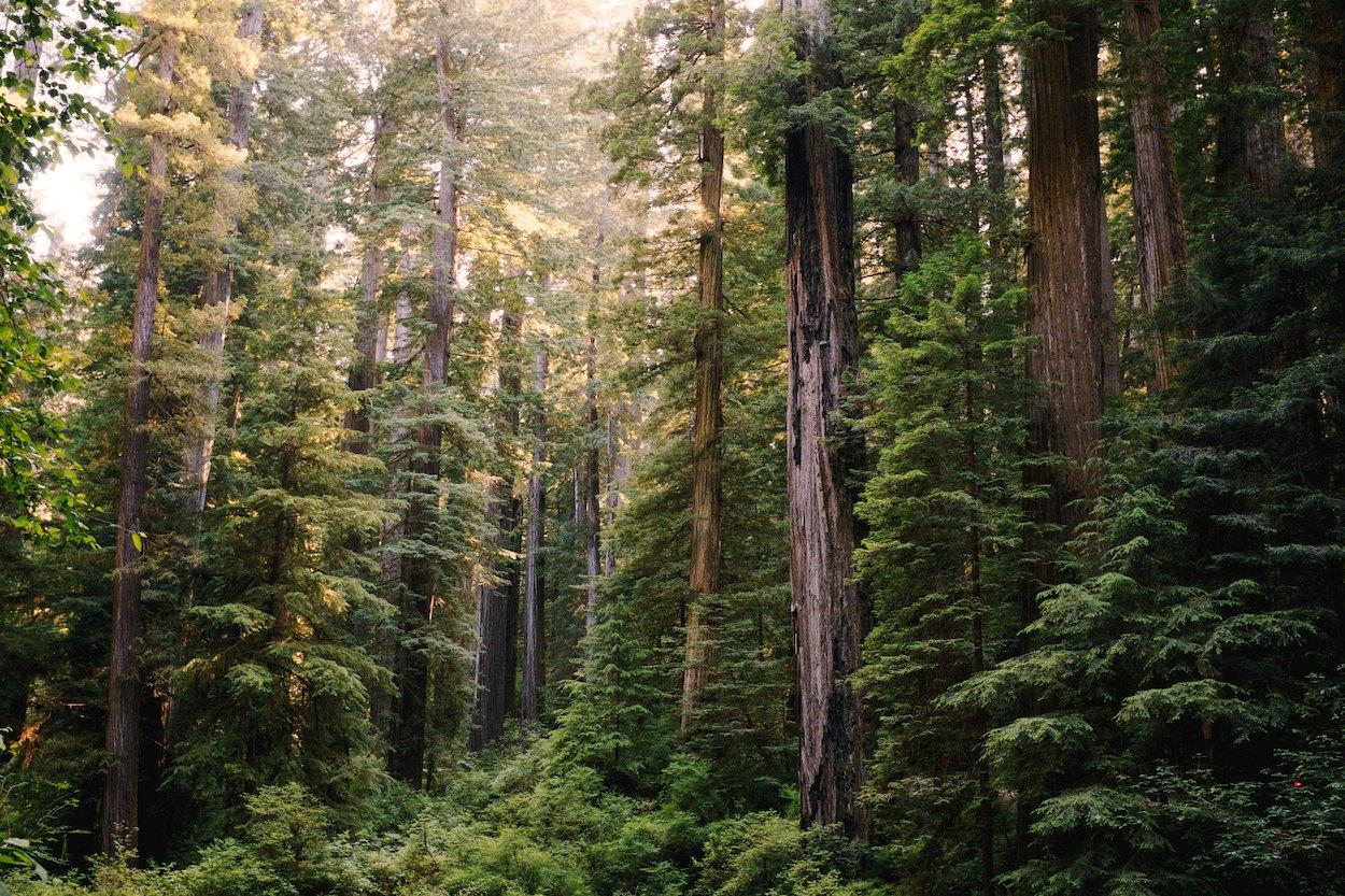 Redwood-Trees 004.jpg