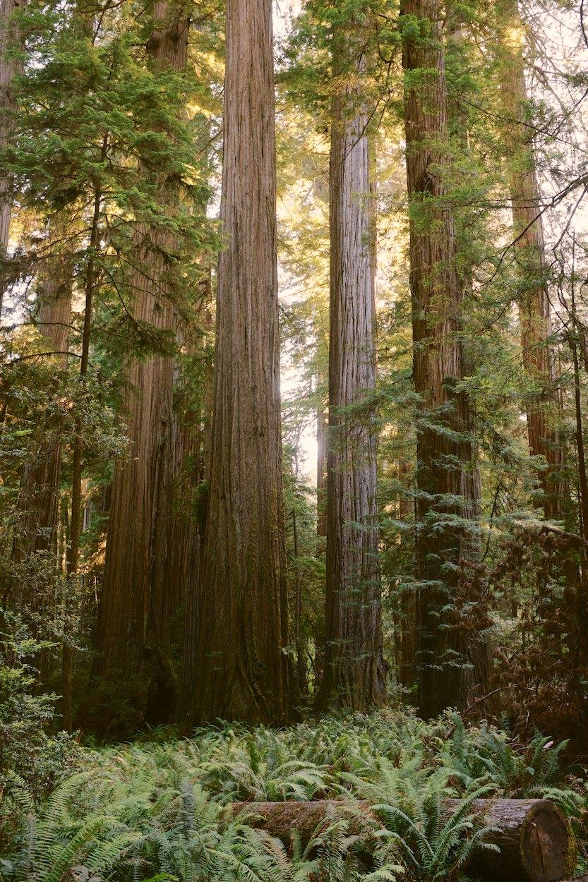Redwood-Trees 006.jpg