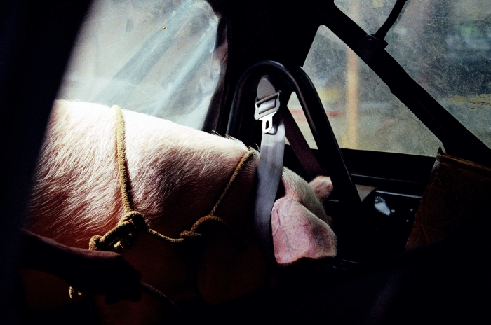 This is Priscilla the pig in Costa Rica in 2005. She was seatbelted into the back seat of a hatchback that arrived so we could say hello to our supper. Later, we ate her.