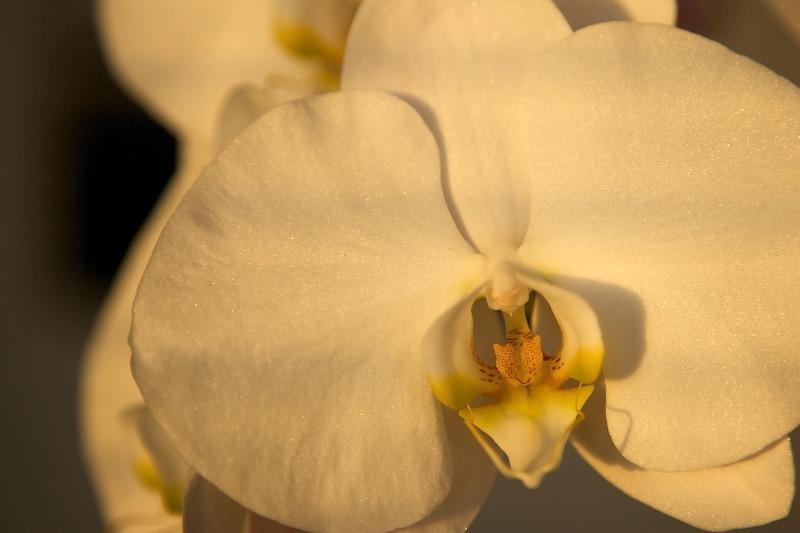 Hvit orkide i kveldssol