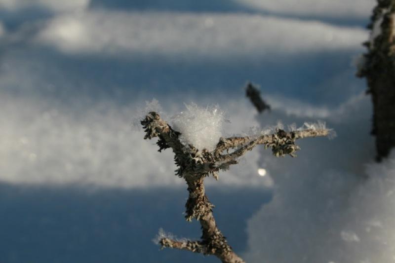 Kvist i snøhav
