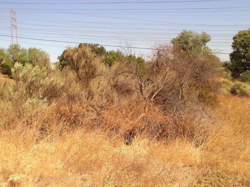 MUSTARD & WEEDS HIDE NATIVE RIVER VEGETATION