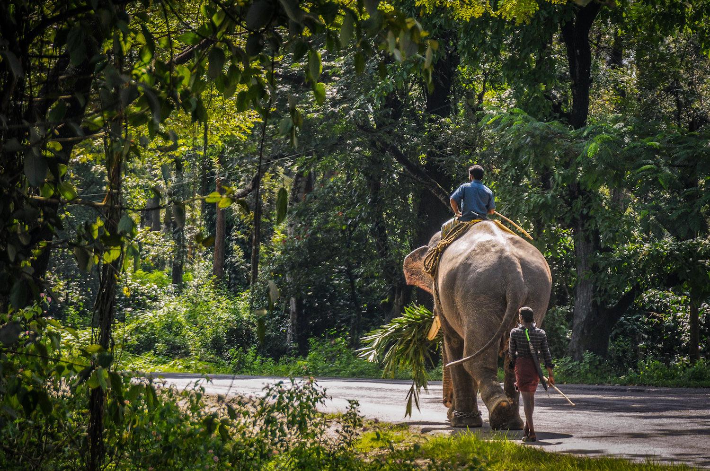 A tame elephant in Malnad (Malenadu)
