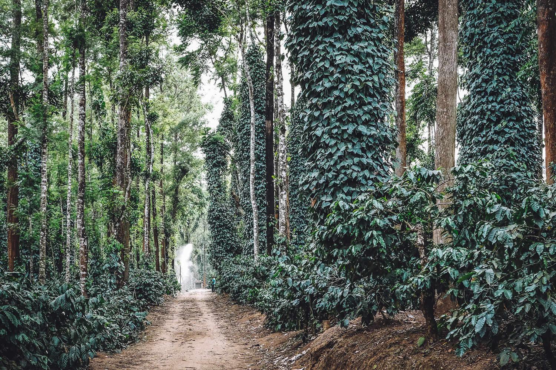 A Coffee Plantation in Malnad (Malenadu), Karnataka, India