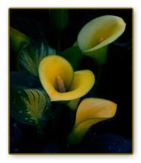 Yellow Cala Lilies