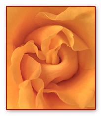 Unfolding Rose