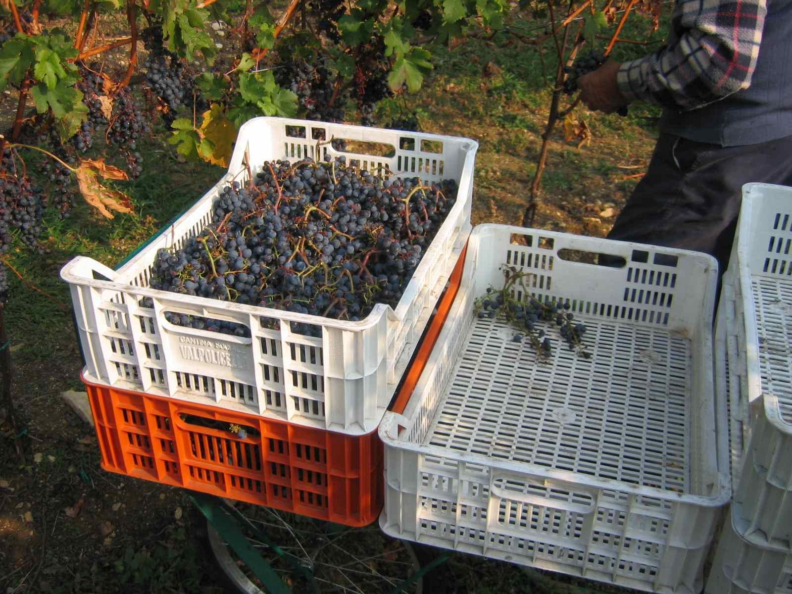 raccolta uve Valpolicella
